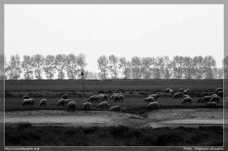Moutons et prés salés